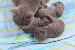 Mother cat taking care of her babies Stock Photo