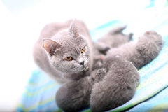 Mother cat taking care of her babies Stock Photography
