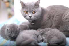 Mother cat taking care of her babies Stock Image
