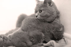 Mother cat taking care of her babies Royalty Free Stock Image