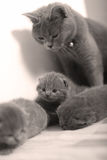 Mother cat taking care of her babies Royalty Free Stock Photography