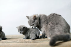 Mother cat taking care of her baby Royalty Free Stock Photography