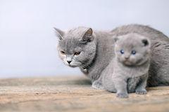 Mother cat taking care of her baby Stock Images