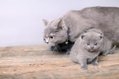 Mother cat taking care of her baby Royalty Free Stock Image
