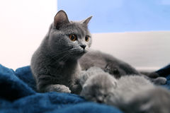 Mother cat watching ater her babies Stock Image