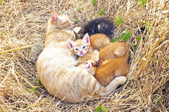 Mother cat with young kittens Stock Photography