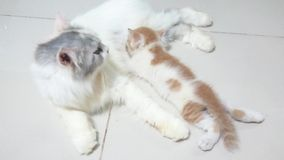 Mother cats are breastfeeding stock video footage