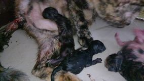 Mother cats are caring for newborn kitten. stock video footage
