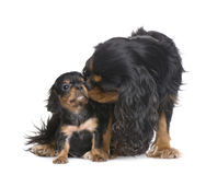 Mother Cavalier King Charles and her puppy royalty free stock photography