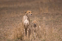 Mother cheetah with cub, Serengeti Park Tanzania Stock Images