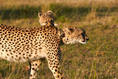 Mother Cheetah and Cubs Royalty Free Stock Image