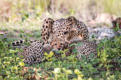 Mother Cheetah and cubs feeding on an Impala stock images