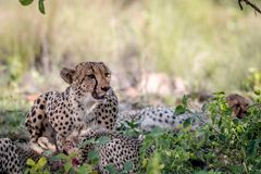 Mother Cheetah and cubs feeding on an Impala stock photography