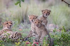 Mother Cheetah and cubs feeding on an Impala royalty free stock photography