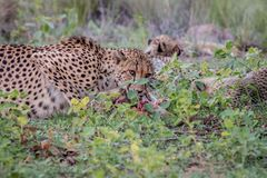 Mother Cheetah with cubs feeding on an Impala stock images