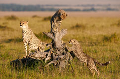 Mother Cheetah and Cubs Royalty Free Stock Photo