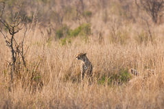 Cheetah on guard Royalty Free Stock Photo