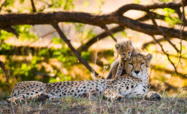 Mother cheetah and her cub in the savannah. Kenya. Tanzania. Africa. National Park. Serengeti. Maasai Mara. Royalty Free Stock Photos