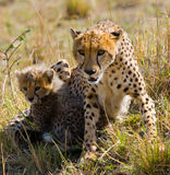 Mother cheetah and her cub in the savannah. Kenya. Tanzania. Africa. National Park. Serengeti. Maasai Mara. Stock Image