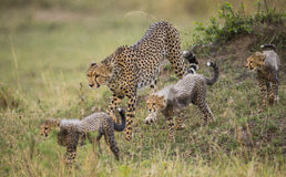 Mother cheetah and her cubs in the savannah. Kenya. Tanzania. Africa. National Park. Serengeti. Maasai Mara. An excellent illustration Royalty Free Stock Photo