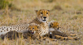 Mother cheetah and her cubs in the savannah. Kenya. Tanzania. Africa. National Park. Serengeti. Maasai Mara. Stock Photography