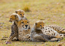 Mother cheetah and her cubs in the savannah. Kenya. Tanzania. Africa. National Park. Serengeti. Maasai Mara. Stock Images