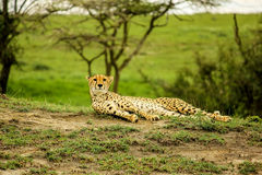 Serengeti Cheetah. Lying cheetah in Ndutu Area in Serengeti National Park (Tanzania) on grass savanna Royalty Free Stock Photography