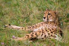 mother cheetah relaxing Stock Photo