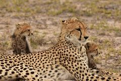 Mother Cheetah with two cubs. Inyahti game reserve Sabisands, South Africa Royalty Free Stock Photo