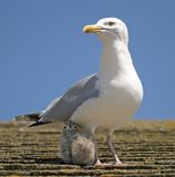 Mother & Chick. Shot on a house roof in UK stock image