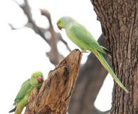 Mother and chick parrot Royalty Free Stock Images