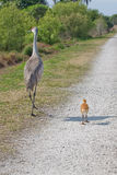 Mother and Chick Sandhill Cranes Royalty Free Stock Images