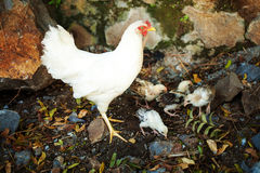 Mother chicken with brood on street. White mother chicken with four little chicks on street. Looking for eat Stock Photography