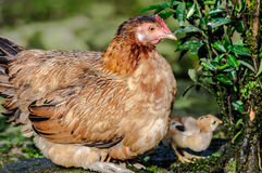 Mother Chicken with chick looking for food, copy space Royalty Free Stock Images