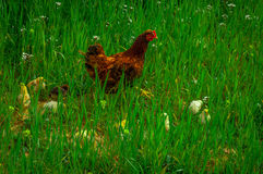 Mother chicken with her children. stock images