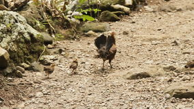 Mother chicken with its baby chicks stock footage