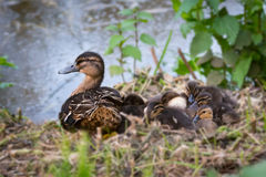 Mother and chicks in Spring Royalty Free Stock Image