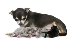 Mother Chihuahua  and her puppies Stock Images