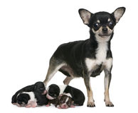 Mother Chihuahua  and her puppies, 4 days old Stock Photo