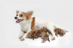 Mother Chihuahua and her puppies Royalty Free Stock Image