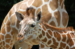 Mother and child. 8 months old baby giraffe and mother Stock Photography