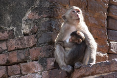 Mother and child. Mother monkey and her baby on the wall Royalty Free Stock Photo