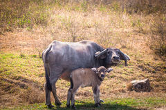Mother and Child. Mother cow and her calf Stock Photos