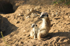 Mother and child. Two meerkats sitting on the sand Stock Photo