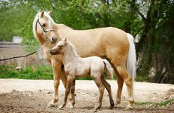 Mother and child. Welsh pony mare and her baby foal Stock Images