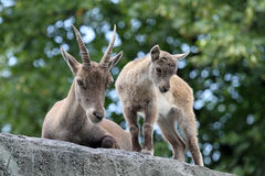 Mother and child Alpine Ibex Stock Photography