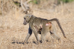 Mother and child baboon Royalty Free Stock Photos