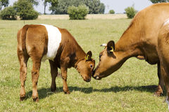 Mother and child calf stock images