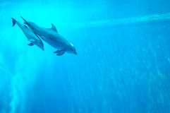 Mother and child dolphin swimming in an aquarium pool Stock Photos
