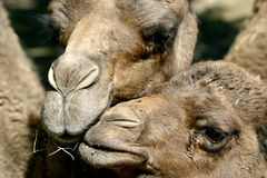 Mother and child dromedary. Are posing for the camera, noses together Stock Photo